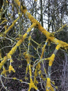 Yellow lichen on winter branches